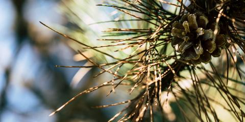 A Guide to Pine Tree Diseases, 9, Tennessee