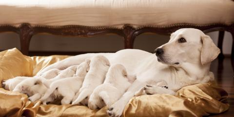 A Brief Introduction to Dog Breeding , Hilton, New York