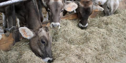 Reduce Stress and Increase Value When Weaning Calves, Adams, Wisconsin