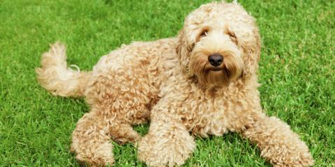 5 Hypoallergenic Dog Breeds to Consider After Allergy Testing Results, Lincoln, Nebraska