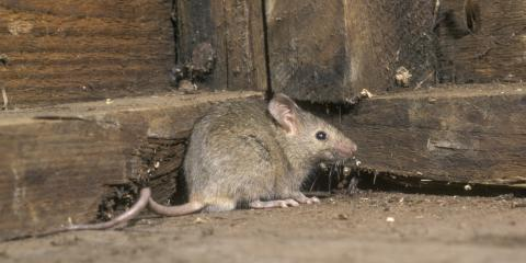 How Are Mouse & Rat Infestations Different?, Dayton, Ohio