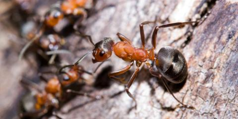 Pest Control Experts on 3 Ant Species Commonly Found in Hawaiian Homes, Wahiawa, Hawaii