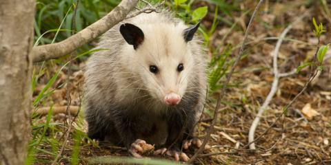 4 Ways Opossums Can Affect a Property, New Milford, Connecticut