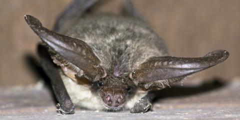 4 Common Bat Removal Questions Answered, New Milford, Connecticut