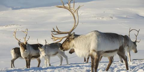 4 Interesting Facts About Reindeer, Anchorage, Alaska