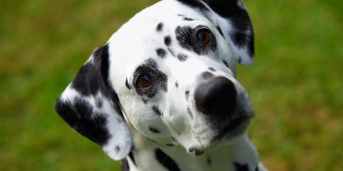 Listen Up: Essential Animal Care Tips for Your Dog's Ears, Ewa, Hawaii