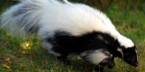 Animal Control: How to Keep Your Pets Away From Skunks, New Milford, Connecticut