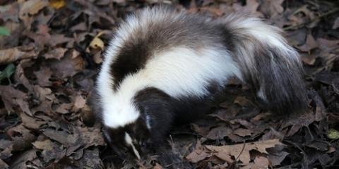 What to Do When Your Pet Is Sprayed by a Skunk, New Milford, Connecticut