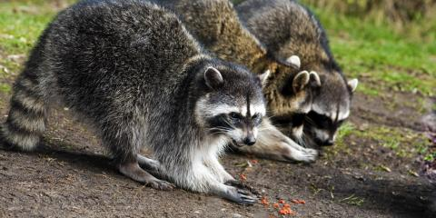 Top 5 Diseases Associated With Raccoons, Saratoga, Wisconsin