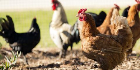 Animal Feed Provider Shares 5 Reasons You Should Keep Chickens, St. Peters, Missouri