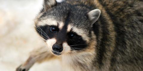 Animal Removal Experts Offer 3 Tips to Prevent Raccoons From Entering Your Attic, Fayetteville, Tennessee