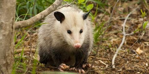 A Homeowner's Guide to Opossums, New Milford, Connecticut