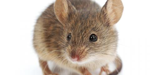 Animal Control 101: How to Keep Mice Out of Your Home , New Milford, Connecticut