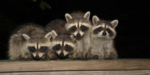 3 Critters That Frequently Require Animal Removal Services, Fayetteville, Tennessee