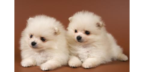 lovely puppies for sales , Manhattan, New York
