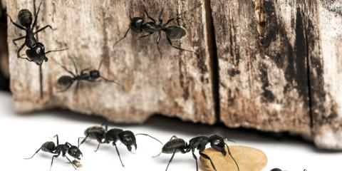 5 Signs Your Home May Need Carpenter Ant Control   , Eubank, Kentucky