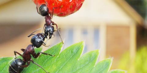 Wahiawa Exterminator Reveals Why You Need Ant Control, Wahiawa, Hawaii