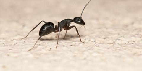 Carpenter Ant Control Company Shares Signs of an Infestation, Atlantic, Iowa