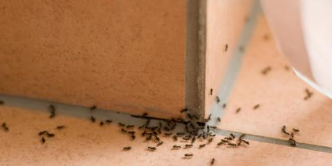 Pest Of The Week: Odorous House Ant, Amelia, Ohio