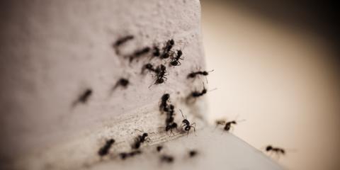 Pest Control Service Discusses Carpenter Ant Damage, Jefferson City, Missouri