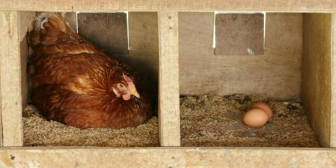 3 Tips for Helping Chickens Lay More Eggs, Whiteville, Arkansas