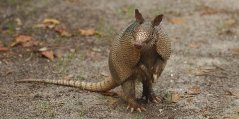Daleville's Wildlife Control Experts Offer Armadillo Removal Services , Daleville, Alabama