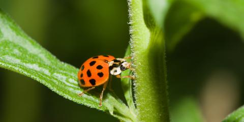 Asian Lady Beetles vs. Ladybugs: What's the Difference? , Eagan, Minnesota