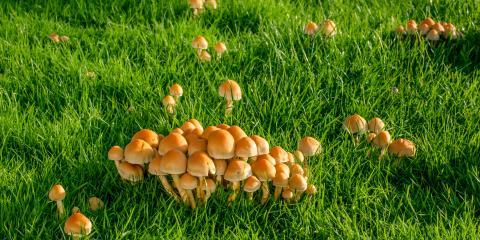 A Lawn Care Guide for Common Mushrooms, Ballwin, Missouri