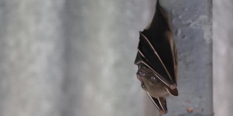 Everything You Need to Know About Bat Removal, New Milford, Connecticut