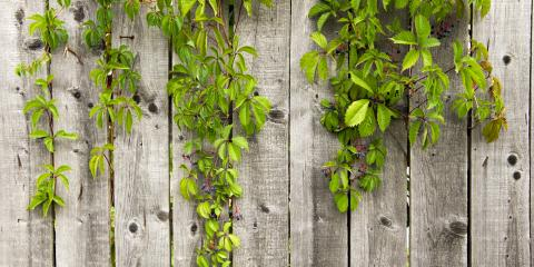 What You Should Know About Growing Fence-Friendly Vines, 8, Louisiana