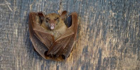 What Kinds of Bats Might Be in Your New Mexico Home?, North Hobbs, New Mexico