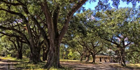3 Common Oak Tree Problems & Diseases, Commerce, Georgia