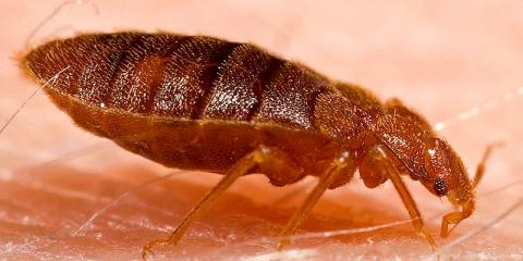 Bed Bugs Infestation Could Spread Chagas Parasite, Newberry, Ohio