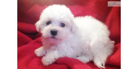 puppys for sales , Manhattan, New York