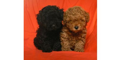 puppies puppies puppies , Manhattan, New York