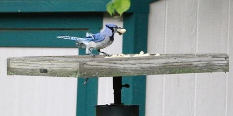 Enjoying Blue Jays More!, Lincoln, Nebraska