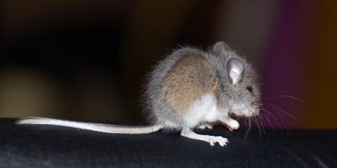 Carlsbad's Top Exterminators Share 4 Ways to Keep Your Home Rodent Free, Carlsbad, New Mexico