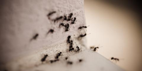 4 FAQ About Carpenter Ants, Miami, Ohio