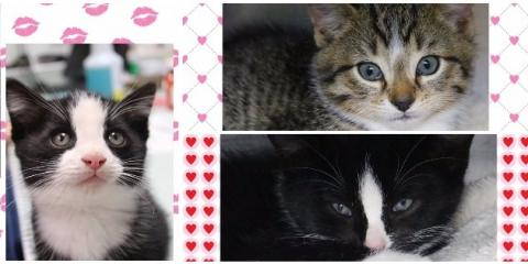 Kittens For Adoption! , Penfield, New York