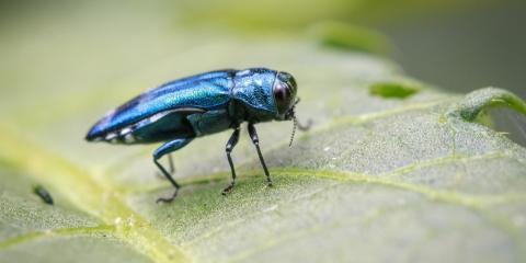 Professional Tree Care Tips to Address the Emerald Ash Borer, Center City, Minnesota