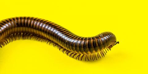 5 Tips for Effective Centipede Extermination in Your Home, Koolaupoko, Hawaii