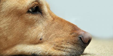 3 Carpet Cleaning Tips to Eliminate Pet Stain Odors, Chesterfield, Missouri