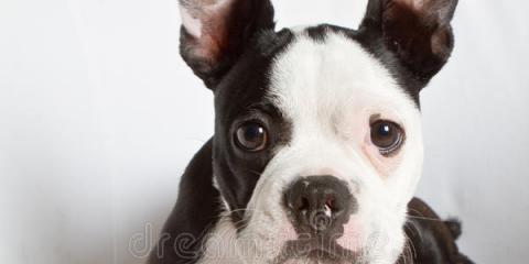 boston terrier mix jack russel for sale, Manhattan, New York