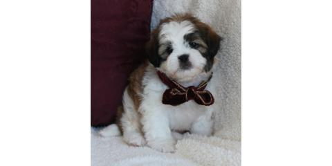 beautifull puppys for sales , Manhattan, New York