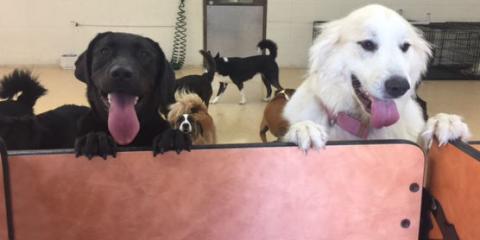 Cincinnati's Best Pet Resort Shares the Benefits of Dog Daycare, Springfield, Ohio
