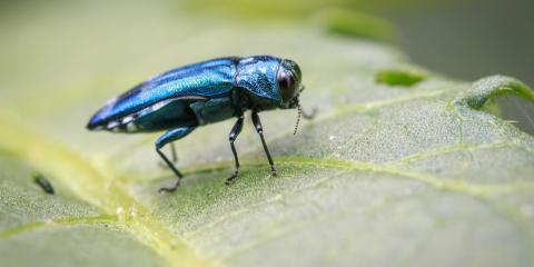 4 Steps to Take When Checking Trees for Emerald Ash Borers, Cincinnati, Ohio