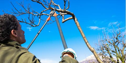 Why Do Trees Bleed Sap?, Cincinnati, Ohio