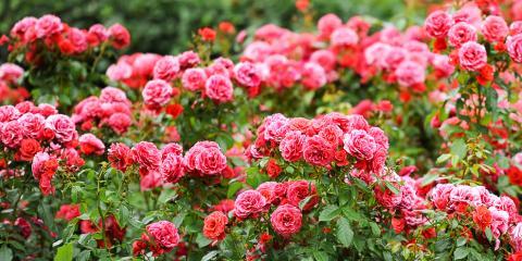 What Fertilizer Option Is Best for Roses?, Colerain, Ohio