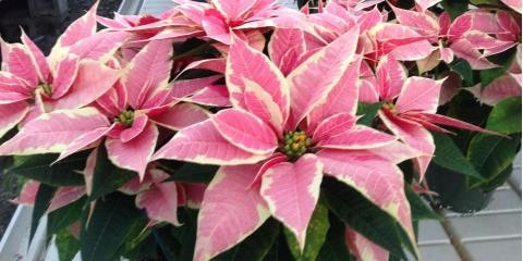 5 Beautiful Winter Plants You'll Find at Cincinnati's Best Greenhouse, Colerain, Ohio