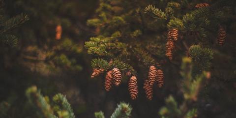 Landscape Design Ideas: Why You Should Use a Conifer Tree, Covington, Kentucky